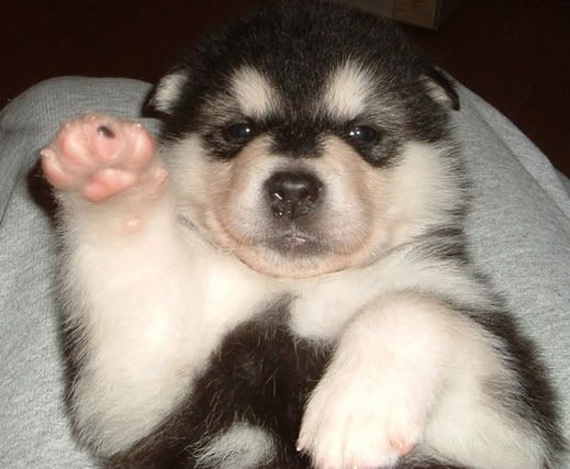 Giant Malamute Puppies 5 weeks old