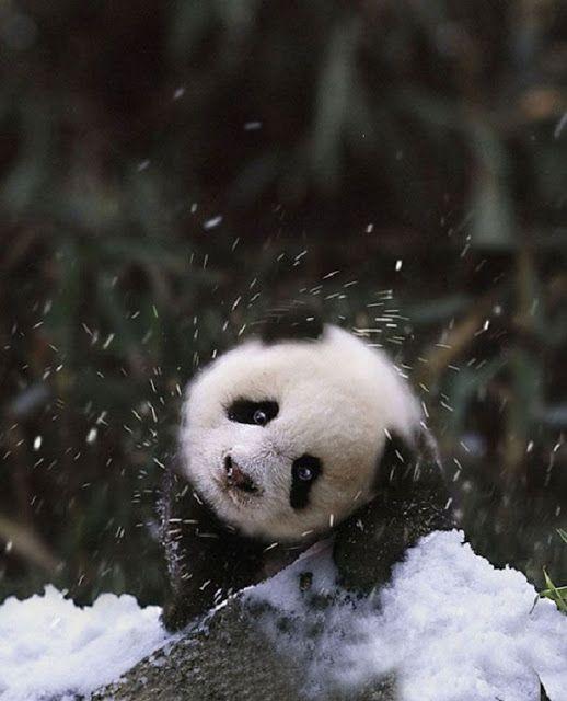 雪を振り払う赤ちゃんパンダ