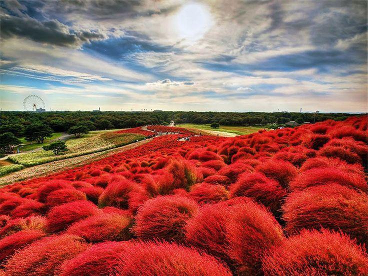 Questo parco floreale si trova ad Hitachinaka , Nella Prefettura di