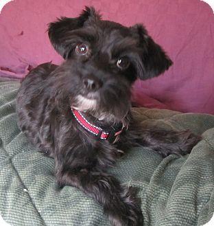 Schnauzer (Miniature)/Chihuahua Mix Puppy for adoption in Warwick, New York - Mona