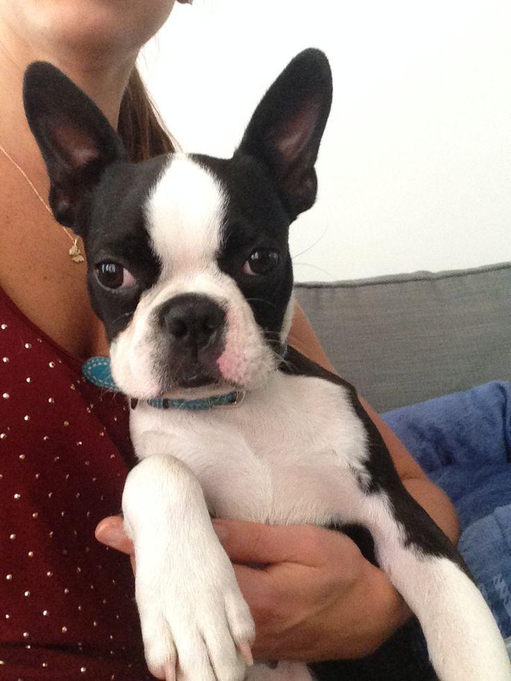 23+ Boston terrier puppy health issues ideas