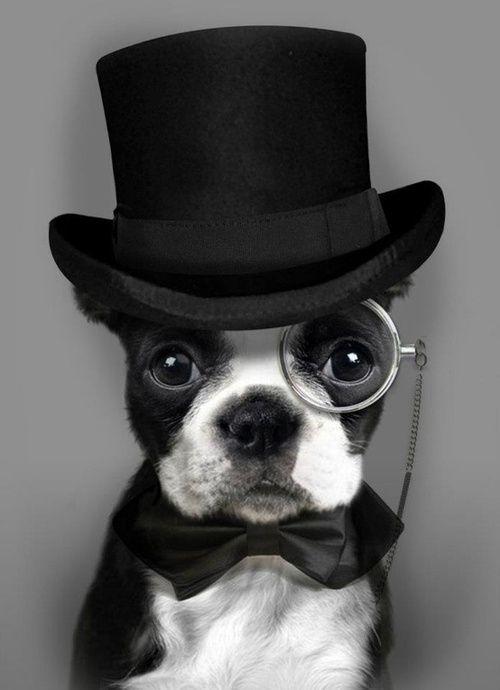 Debonair Dog