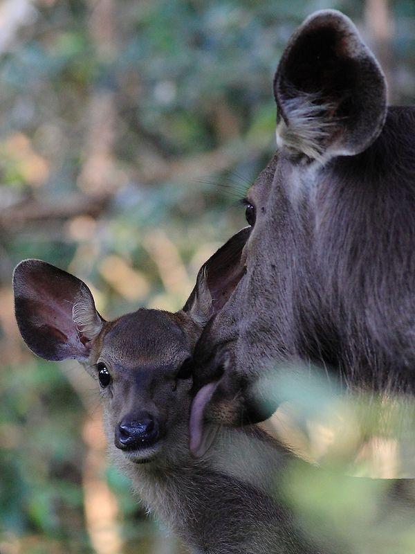 ˚Sambar Deer
