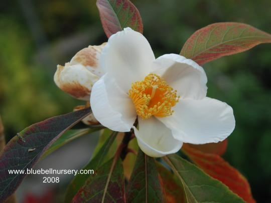 The 15 best summer flowering trees images on pinterest blossom very small tree with spectacular camellia like sweetly fragrant large white flowers to 6 cm in diameter centers of bushy bright yellow stamens mightylinksfo