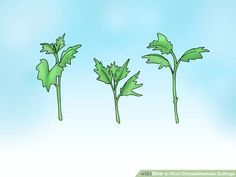 How to Root Chrysanthemum