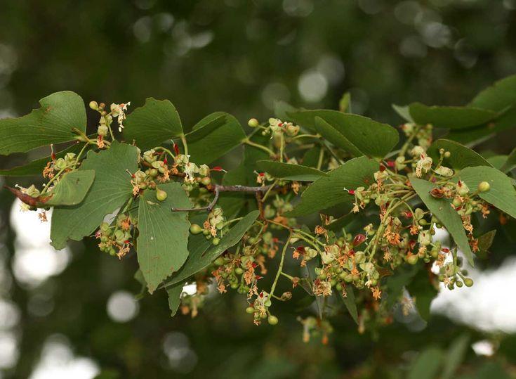 Colophospermum Mopane    flowers      Mopane/Turpentine Tree        Mopanie       S A no 198