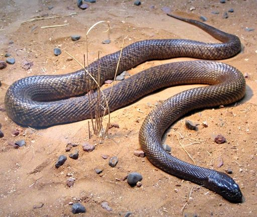 """Inland Taipan Also known as the """"fierce snake,"""" the Inland taipan holds the record for the most toxic venom of any snake in the world — it has the potential to kill 100 adult men with a single bite!  If left untreated, serious bites can kill a person in 30 to 45 minutes. But they aren't the most dangerous snakes by far. Unlike the coastal taipan, inland taipans are fairly placid (unless provoked) and rarely encountered by humans in the remote desert environments."""