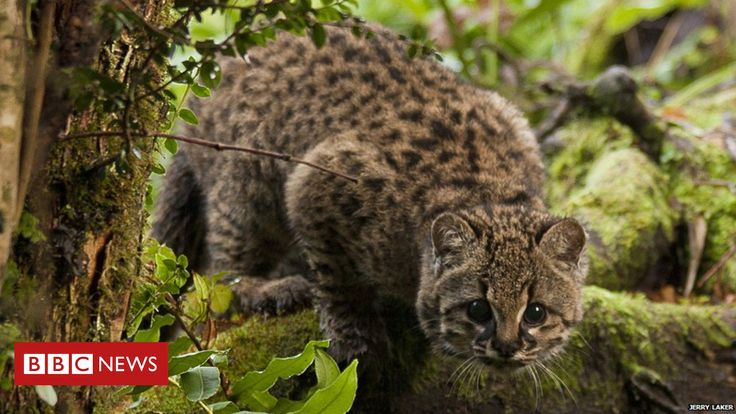 Hope for threatened 'little tiger cat'  ||  Habitat fragmentation is a bigger threat to Chile's wildcat than human persecution, say conservationists. http://www.bbc.co.uk/news/science-environment-42738079?utm_campaign=crowdfire&utm_content=crowdfire&utm_medium=social&utm_source=pinterest