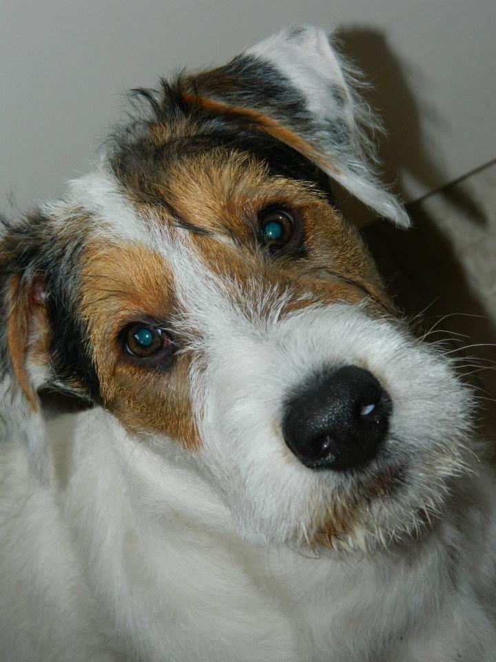 Northwest Farm Terrier puppy Adorable Animals