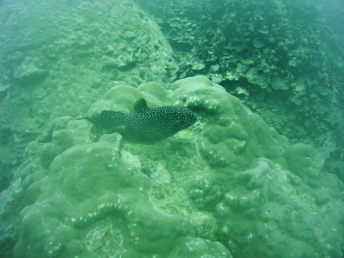 Samoa Diving Holiday - A black spotted pufferfish making a quick escape