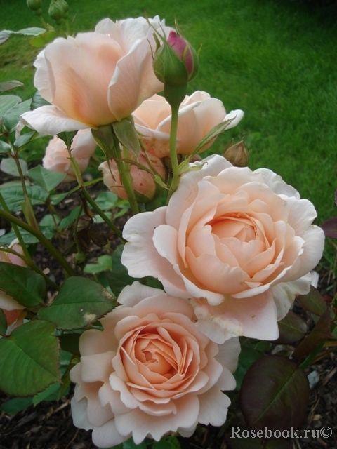 'Ambridge Rose'   English Rose, Austin 1990