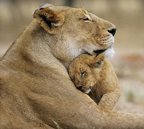 Motherly Love,like no otherKing Of Beast, Big Cat, Animal Pictures, Mothers Day, Panthera Leo, Children, Baby Animal, Baby Lion, Lion Cubs