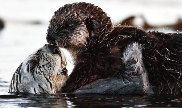 I'll never let go Jack! Adorable otters re-enact tragic scene from Titanic