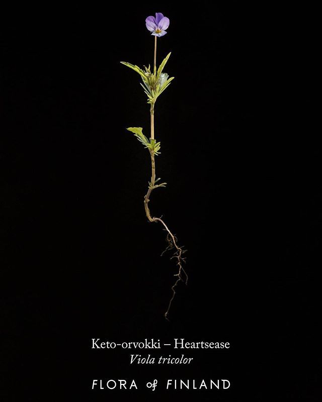 #ketoorvokki #heartsease #styvmorsviol Koko kasvi kukkineen kuivattuna teenä, syötävillä kukilla voi koristella ruoka-annoksia ja salaatteja