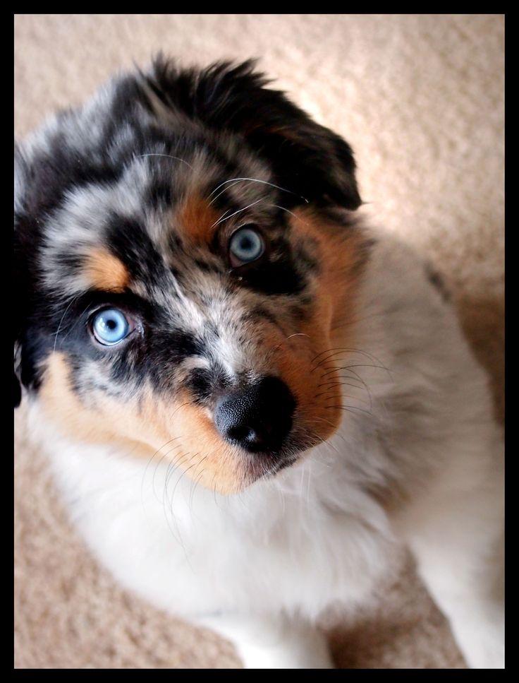 Bowser, my Blue Merle Australian shepherd puppy, at 10 weeks:)