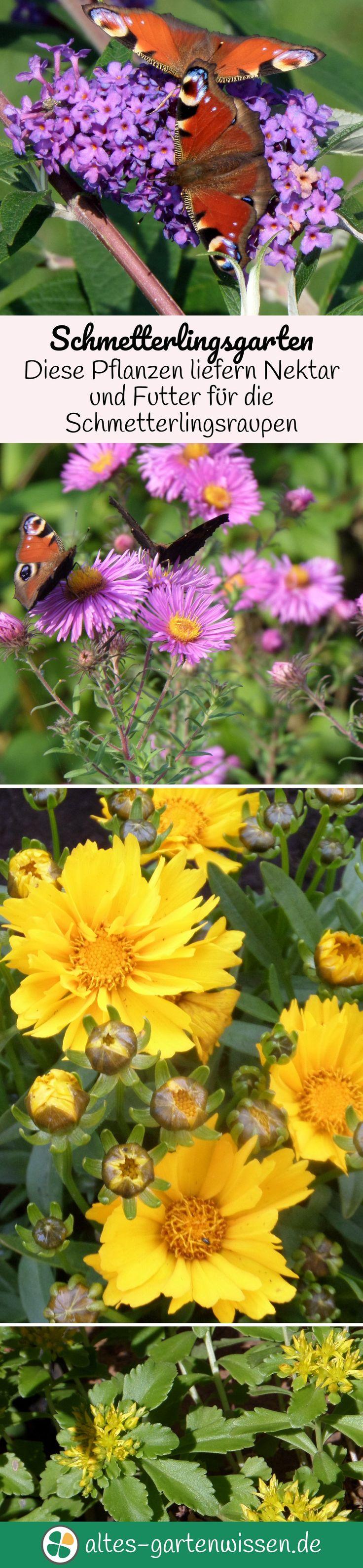 Schmetterlingsgarten   Diese Pflanzen Liefern Nektar Und Futter Für Die  Schmetterlingsraupen