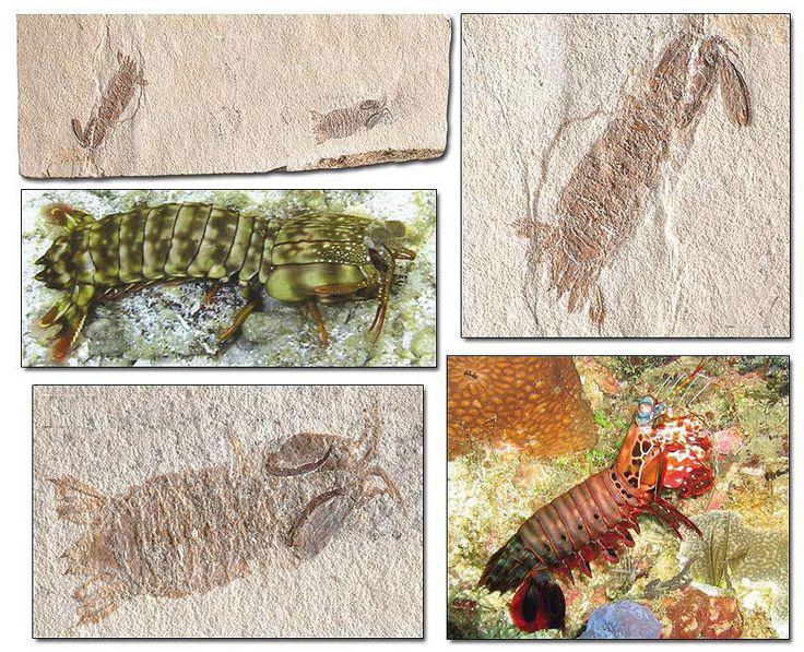 95 MİLYON YILLIK MANTİS ISTAKOZU http://dusuneninsanlaricin.com/evrimi-curuten-50-fosil/