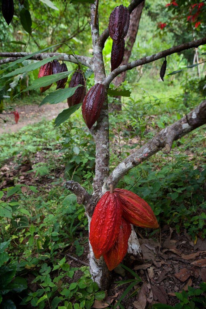 Wusstet ihr, dass man das Fruchtfleisch der Kakaofrucht essen kann? Es ist wirklich unglaublich lecker :)