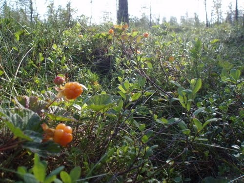 Cloudberries, photo by Pertti Tikkanen