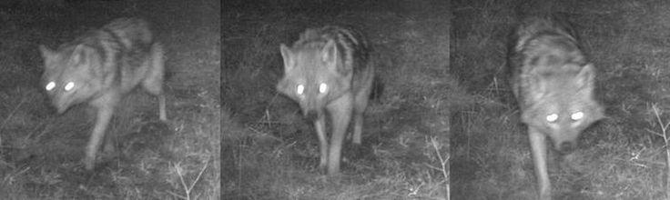 Op de Veluwe is op 19 februari een goudjakhals waargenomen. Dat maakt onderzoeksbureau Alterra bekend.