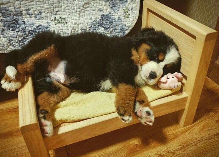 Cute bernese mountain puppy