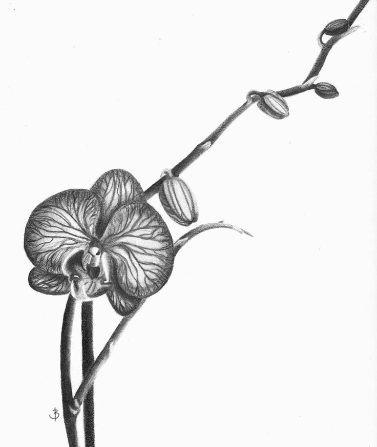 orchid  orchid drawing orchids drawings