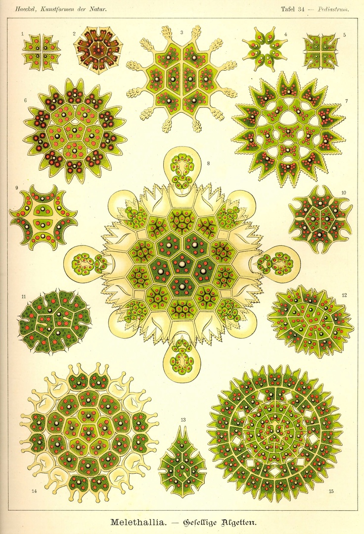 Kunstformen der Natur Tafel 34 – Pediastrum – Orly Eittan