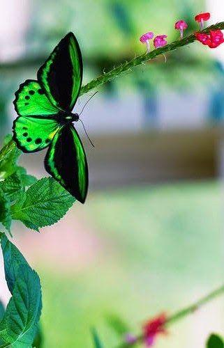 Pretty Butterflie