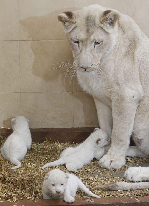 Awwww!!! White little lion cubs. My heart just skipped, skipped, skipped!