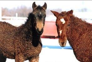 bashkir-curly-horse-OK http://www.association-ferme.org/