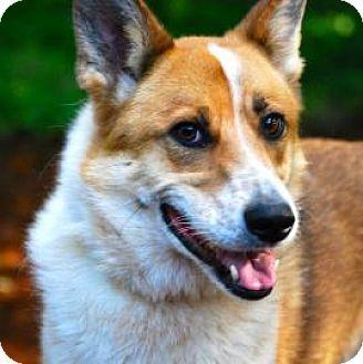 Bellevue, WA - Australian Shepherd/Alaskan Malamute Mix. Meet Tanner, a dog for adoption. http://www.adoptapet.com/pet/12915970-bellevue-washington-australian-shepherd-mix
