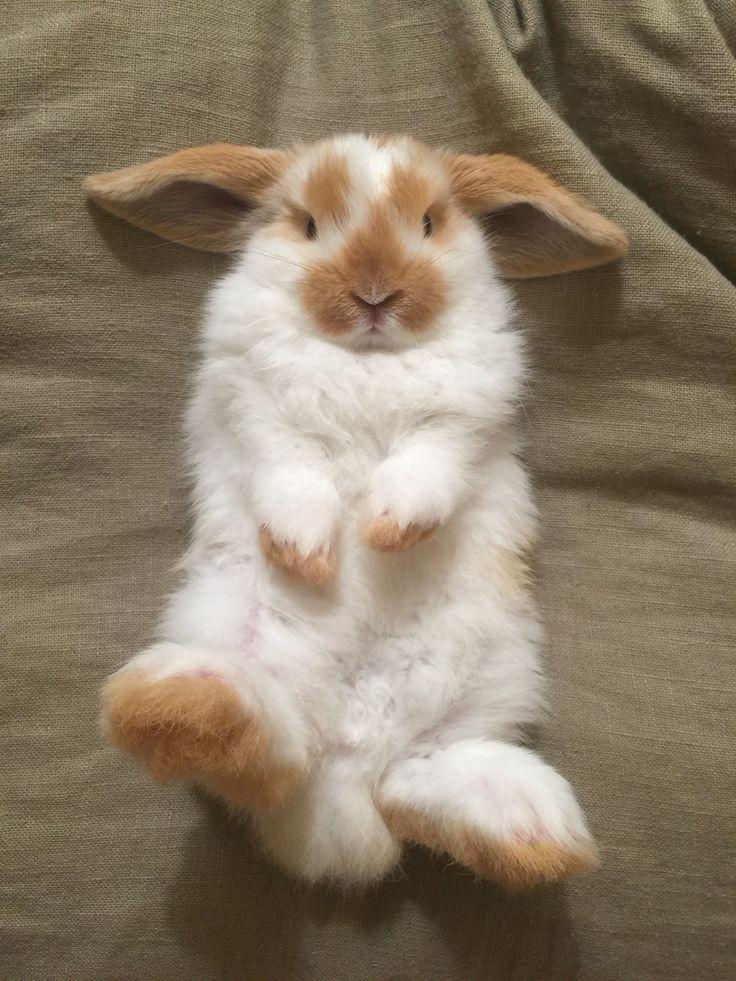 8 week old broken orange Holland Lop bunny rabbit.
