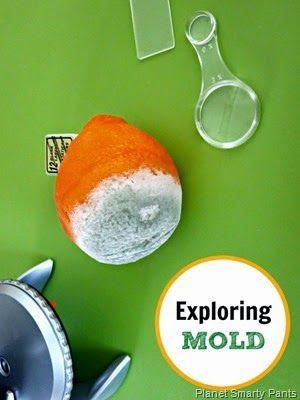 STEM Activity - Exploring Mold (or Mould). Ever tut to find a mouldy orange in the bottom of the fruit bowl? Turn that into an opportunity !