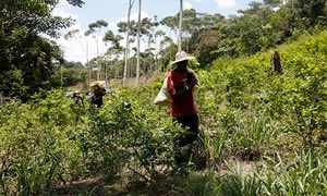 People carry harvested coca leaves along a coca field. Armed groups are attempting to take control of the cocaine trade in regions the Farc left behind.