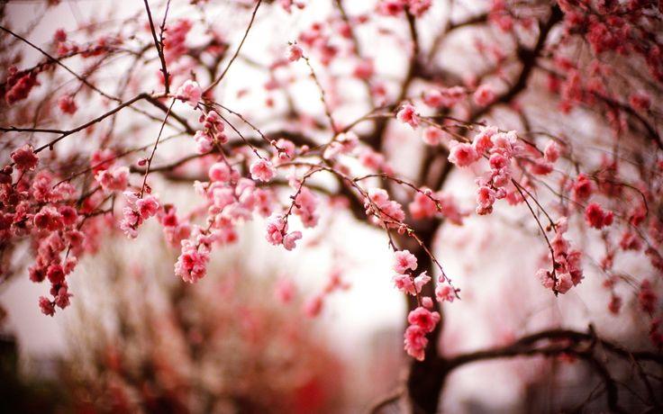 Cherry Blossom Night Wallpaper Anime Cherry blossom night wallpaper