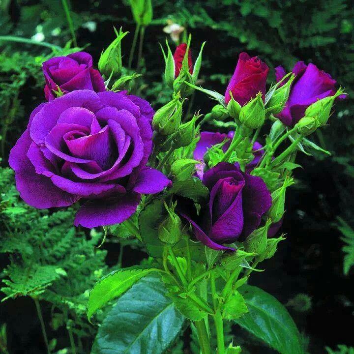 Purple Rose Bush Roses Pinterest Rose Bush Purple
