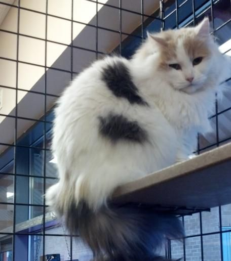 Faye is an adoptable domestic long hair searching for a forever family near Mississauga, ON. Use Petfinder to find adoptable pets in your area.