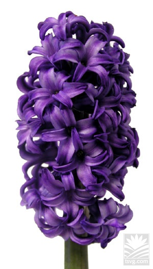 "Beautiful Purple ""Atlantic"" Hyacinth.  from The Sun Valley Group.  www.tsvg.com"