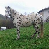 Pony appaloosa hembra Navarra. en venta en Navarra :: Venta de Caballos. HE3186D2D