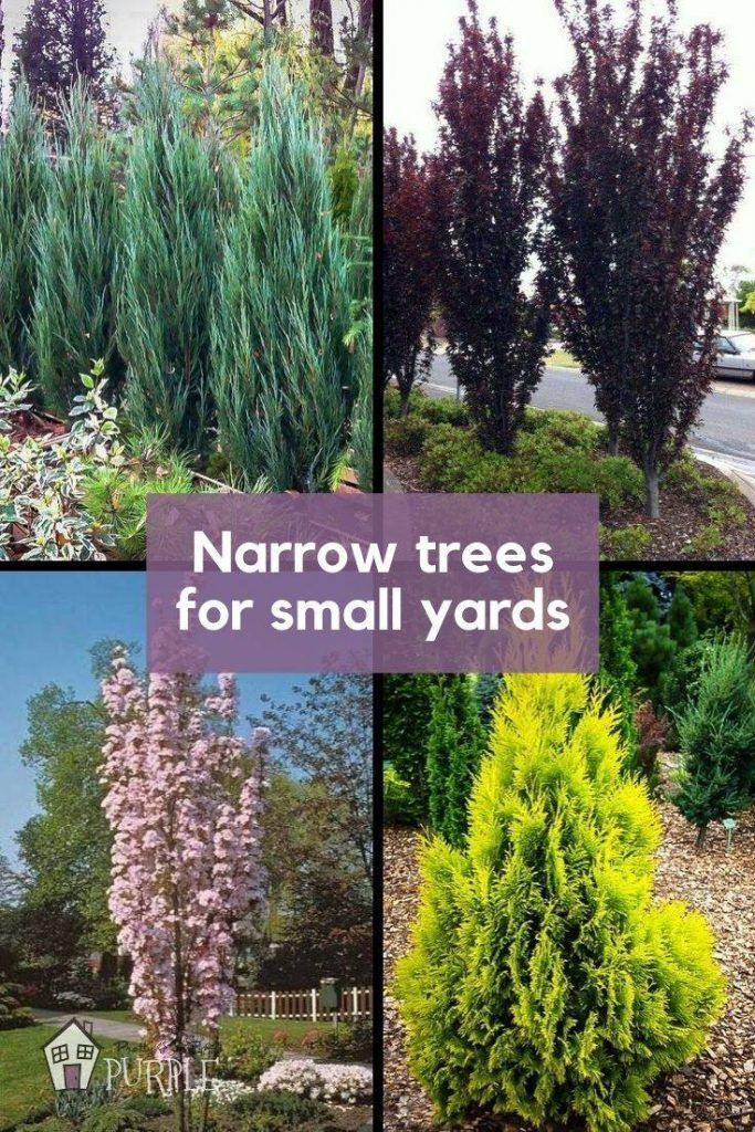 Narrow Trees For Small Yards That Pack A Punch Pretty Purple Door Front Yard Landscaping Design Backyard Trees Privacy Landscaping