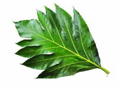 Daun Sukun - Berikut ini ada manfaat daun sukun untuk kesehatan jantung ginjal serta obat herbal untuk penyakit kronis diabetes hepatitis kolesterol dan darah tinggi.