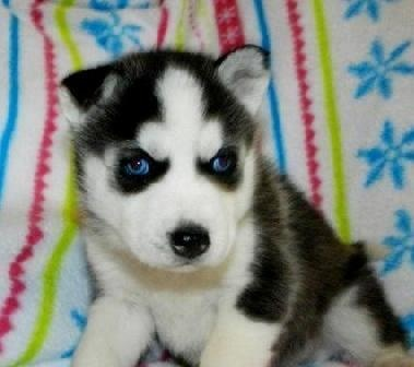 free-ads.eu - Dogs - Puppies classifieds: Siberian Husky Puppies For Sale - Australia