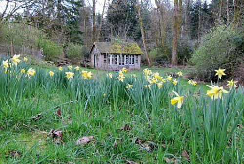 Thank you, Tom of Tall Clover Farm. Naturalizing daffodils Dividing Daffodil Bulbs: Little Work for a Lot of Blooms