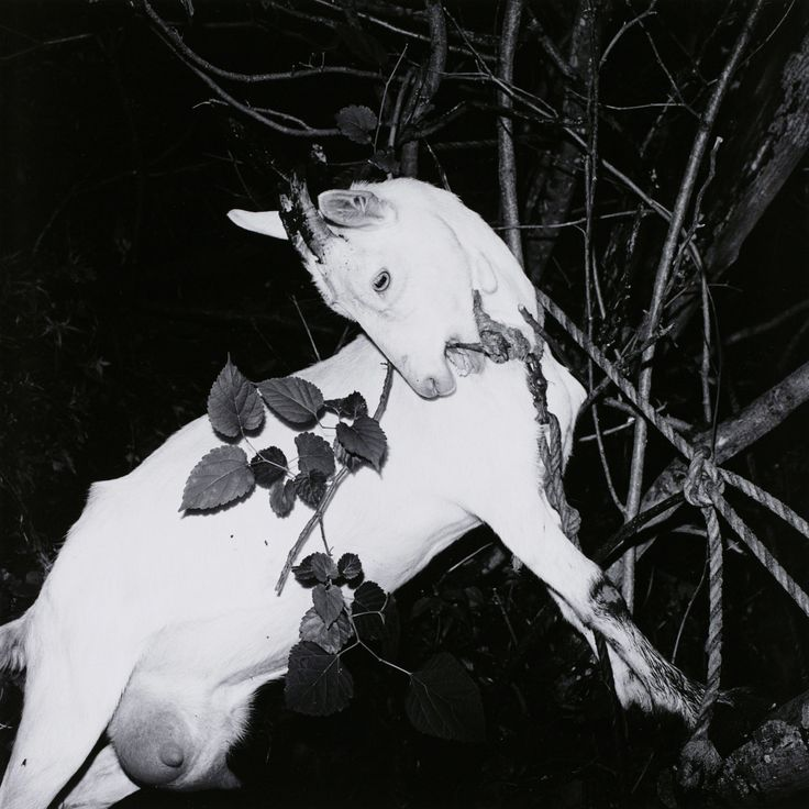 Caught on 6x6: A bound goat at Ginzan Onsen Yamagata, from Issei Suda's 'Fushi Kaden' (1976)   COURTESY OF THE COLLECTION OF TOKYO METROPOLITAN MUSEUM OF PHOTOGRAPHY