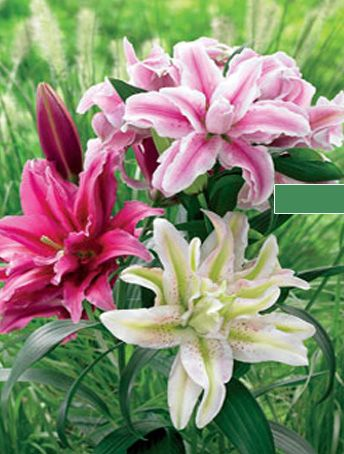 Roselily Mix