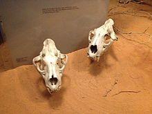 Tsavo Man-Eaters - Wikipedia