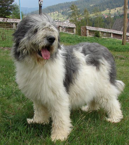 Romanian mioritic dog