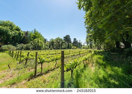 http://www.shutterstock.com/pic-245182015 Constantia Grape Wineland Countryside Landscape Background Of Hills With Mountain Backdrop In Cape Town South Africa Stock Photo 245182015 : Shutterstock