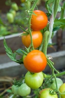 Legg tomatfrøene fra tomatene i et glass med vann et døgn eller to. Sil av og skyll de før du legger de til tørk. Da kan du så eller ta vare på de i en boks til neste såing