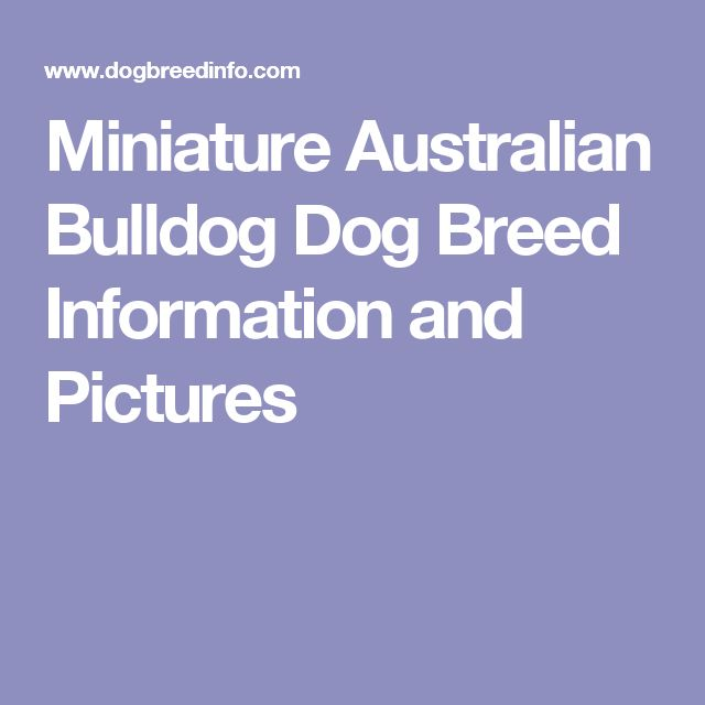 Miniature Australian Bulldog Dog Breed Information and Pictures